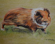 Pig Pastels Prints - Guinea Pig Print by Tanya Patey