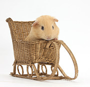 Toy Animals Framed Prints - Guinea Pig Toy Wicker Sledge Framed Print by Mark Taylor