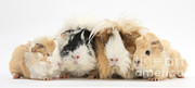 Animal Family Prints - Guinea Pig With Babies Print by Mark Taylor