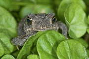 Pecan Framed Prints - Gulf Coast Toad Amongst Leaves Framed Print by Clay Coleman