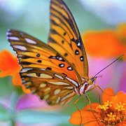 Stamen Photo Posters - Gulf Fliterary Butterfly Poster by Joel Olives Photography