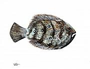 Sport Painting Originals - Gulf Flounder by J Vincent Scarpace