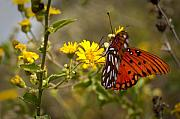 Gulf Originals - Gulf Fritillary Agraulis vanillae Red Butterfly by Dustin K Ryan