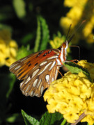 Flower Photo Posters - Gulf Fritillary Poster by Amy Tyler