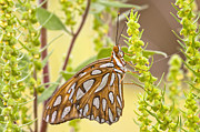 Gulf Fritillary Photos - Gulf Fritillary Butterfly  by Bonnie Barry
