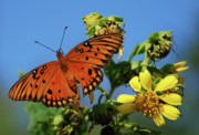 Gulf Fritillary Photos - Gulf Fritillary Butterfly by Skip Willits