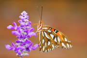 Butterfly House Prints - Gulf Fritillary Print by Shelley Neff