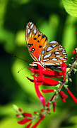Blooms  Butterflies Photo Framed Prints - Gulf Fritillary Framed Print by Skip Willits