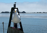 Charlene Fuhlendorf - Gull at Bodega Bay