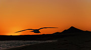 Flying Gull Posters - Gull at Sunset Poster by Dave Dilli