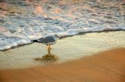 Rosemary Hawkins Prints - Gull at Waters Edge at Montauk Beach Print by Rosemary Hawkins