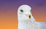 Feathered Prints - Gull Blend Print by Karol  Livote