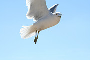 Navigate Framed Prints - Gull coming in for landing Framed Print by Purcell Pictures