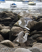 Massachusetts - Gull Dance by Angela Cook