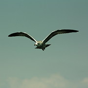 Flying Seagull Prints - Gull in Flight 2 Print by Marjorie Imbeau