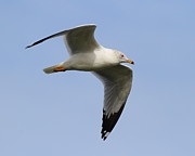 Gull In Flight . 7d12084 Print by Wingsdomain Art and Photography
