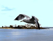 Ducks Digital Art Prints - Gull in Flight Print by Dale   Ford