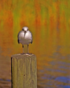 Sea Gull Prints - Gull on Post Print by Michael Peychich