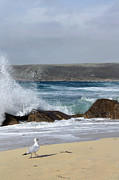 Sennen Photos - Gull on the sand by Linsey Williams