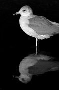 Gull Reflect Print by Karol  Livote