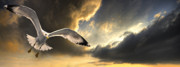 Storm Clouds Framed Prints - Gull With Approaching Storm Framed Print by Meirion Matthias