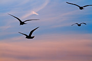 Coastal Birds Posters - Gulls at Dusk Poster by Karol  Livote