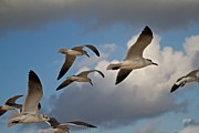 Gull Seagull Framed Prints - Gulls Framed Print by Darcy Evans