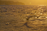 Kenai Peninsula Prints - Gulls Fishing in Ice Print by Tim Grams
