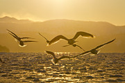 Flying Gull Metal Prints - Gulls in Golden Light Metal Print by Tim Grams