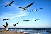 Flying Gull Posters - Gulls Poster by John Loreaux