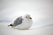 Ring Billed Posters - Gulls Winter Pose Poster by Karol  Livote