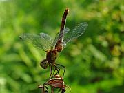 Insects Photo Originals - Gymnast by Juergen Roth