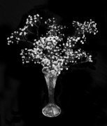 Flowers In White Vase Posters - Gypsophila Black and White Poster by Terence Davis