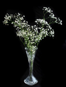 Floral Still Life Originals - Gypsophila by Terence Davis
