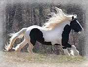 Gypsy Horse Prints - Gypsy Stallion Esperanzo Print by Terry Kirkland Cook