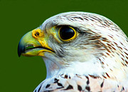 Gyr Falcon Art - Gyr Falcon by Ron Boily