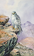 Bird Of Prey Prints - Gyrfalcon Print by Carl Donner
