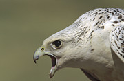 Gyrfalcon  Metal Prints - Gyrfalcon Falco Rusticolus Adult Female Metal Print by Konrad Wothe