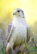 White Morph Prints - Gyrfalcon Print by Linda Wright