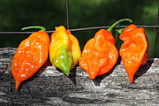 Hot Peppers Prints - Habaneros Print by Lauri Novak
