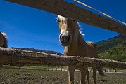 Split Rail Fence Photo Metal Prints - Haflinger Horse Looks Through A Fence Metal Print by Todd Gipstein