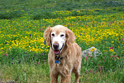 Golden Settings Pet Photography Photos - Hagrid In The Wildflowers by Kara Kincade
