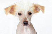 Looking At Camera Art - Hairless Chinese Crested Puppy by Amy Lane Photography