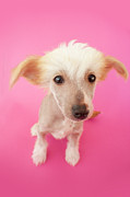 Colored Background Prints - Hairless Dog On Pink Background Print by Amy Lane Photography