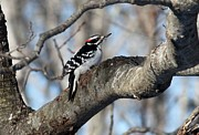 Hairy Woodpecker Print by Bonnie Brann