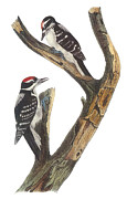 Woodpecker Paintings - Hairy Woodpecker by John James Audubon