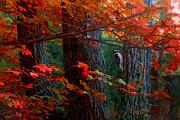 Hairy Woodpecker Print by Ron Jones