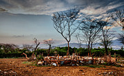 Realistic Photo Prints - Haitian Cattle Ranch Print by Mauricio Jimenez