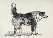 Threatening Prints - Half Bred Shepherd Dog With Hostile Print by Ken Welsh