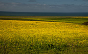 Mustard Fields Forever - Half Moon Bay Mustard by Glenn Franco Simmons